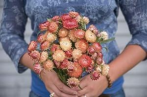 David's Garden Seeds Flower Strawflower Apricot/Peach Mix 7611 (Multi) 200 Non-GMO, Open Pollinated Seeds