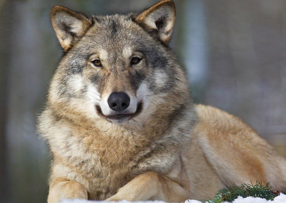 /«fAUCHENDER wOLF Lentikular carte anim/ée//image en hologramme loups