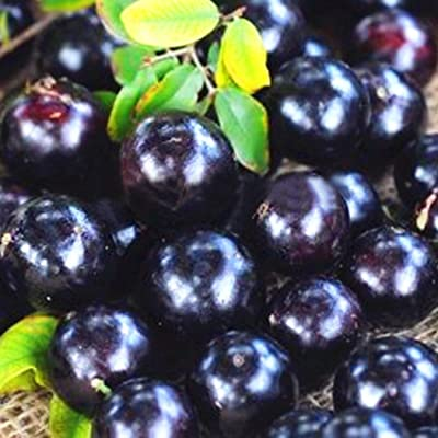 Dozenla Garden Seeds - 100Pcs Jaboticaba Seeds Organic Fruit Seeds Bonsai Grape Tree Plant Seeds Fruit Vegetable Seeds for Planting : Garden & Outdoor