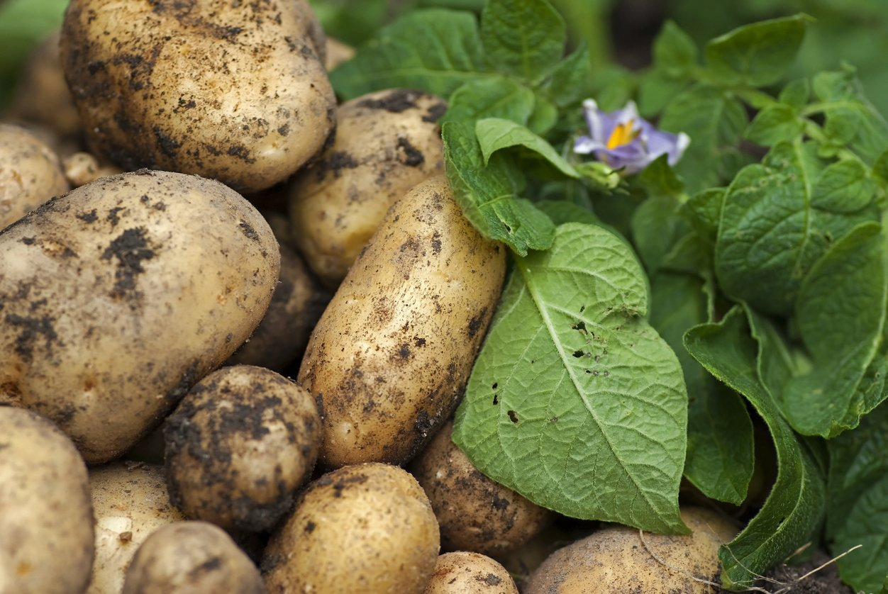 Simply Seed - 5 LB - Kennebec Potato Seed - Non GMO - Organic Grown - Order Now for Fall Planting