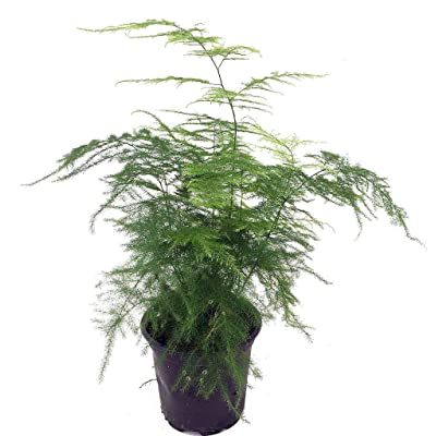 """Plant Fern Leaf Plumosus Asparagus Fern Indoor 4"""" Pot Easy to Grow Live Houseplant - USA_Mall : Garden & Outdoor"""