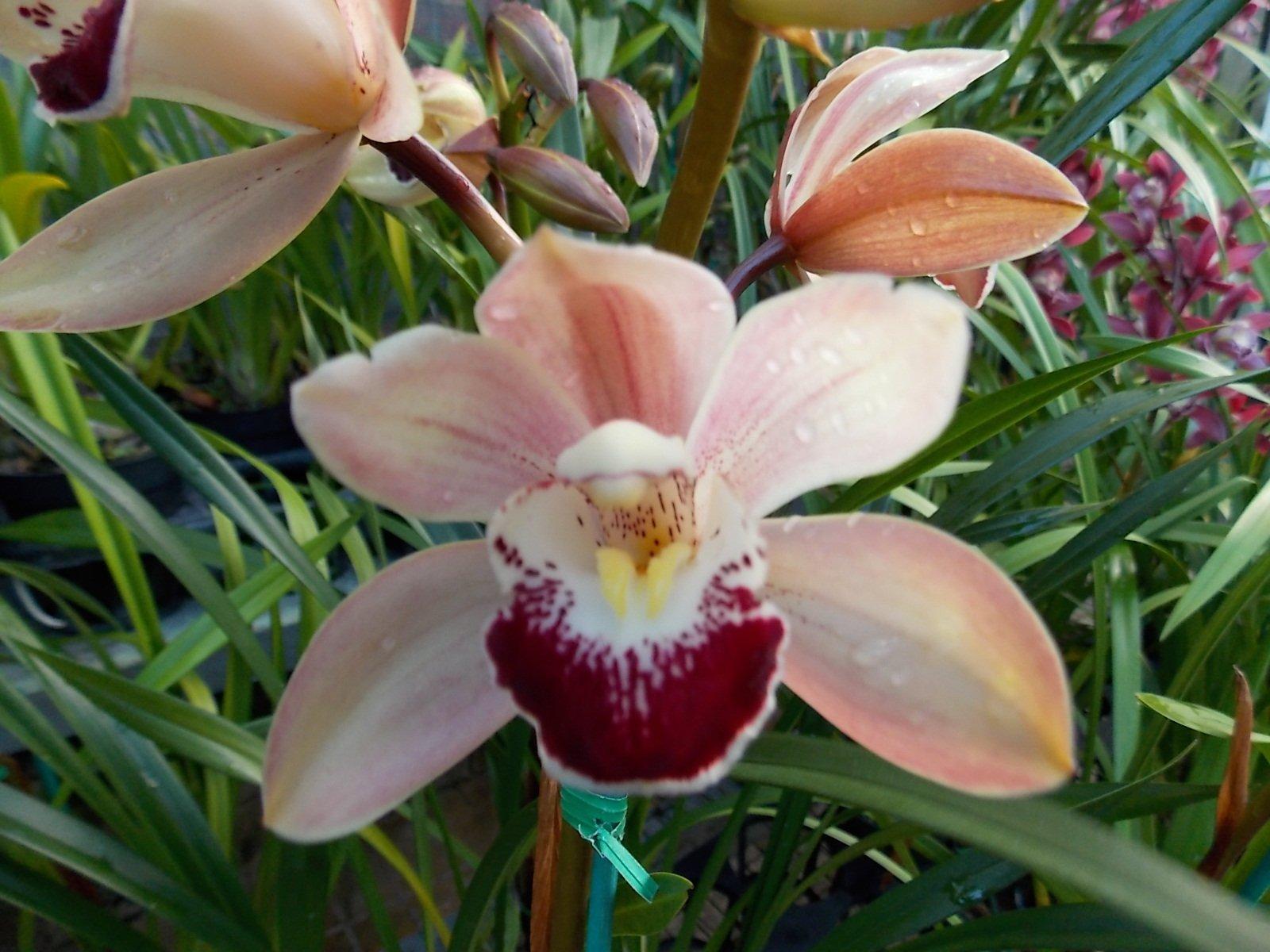Cymbidium Street of Gold '#1' Fragrant! Warm Growing! Easy to grow orchid