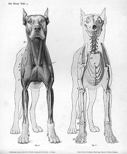 Amazon Gifts Delight Laminated 17x20 Poster Dog Anatomy