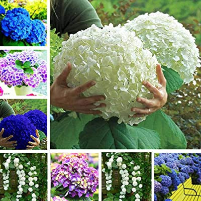 airrais Seeds 20Pcs New Nice Adorable Flower Fragrant Blooms Hydrangea Seeds Flowers : Garden & Outdoor