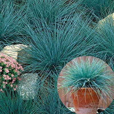Earth Seeds Co 100 Pcs Festuca glauca Blue Ornamental Grass Seed Popular Grass for Urban Spaces, Fescue Fast Grass Seeds Ideal for Garden : Garden & Outdoor