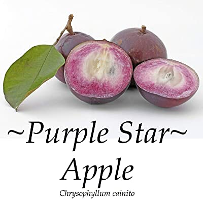 ~Purple Star Apple~ Chrysophyllum Cainito CAIMITO Fruit Tree Small Potted Plant : Garden & Outdoor