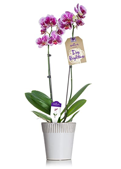 Amazon hallmark flowers orchid pink double spike in 5 inch hallmark flowers orchid pink double spike in 5 inch white striped rim ceramic container mightylinksfo