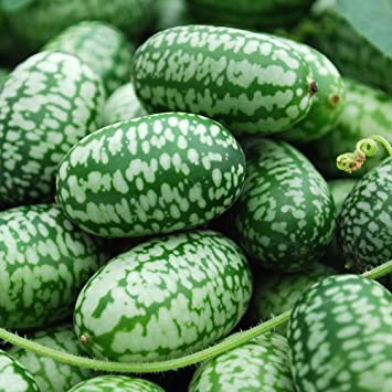 Mexican Miniature Watermelon 15 Seeds -Melothria scabra by Hirts: Seed; Fruits & Berries
