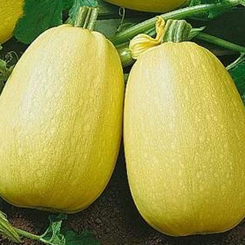 Vermicelli F1 Squash - 1 OZ ~150 Seeds - Hybrid F1, Non-GMO, Farm & Vegetable Gardening Seeds - Winter Spaghetti Squash