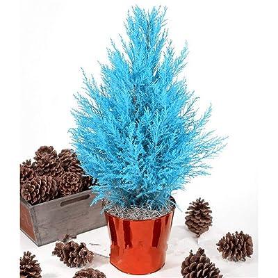 Onbay1 Seeds-Cypress Tree Seeds, 50Pcs Home Garden Balcony Bonsai Ornamental Plants Blue Cypress Tree Seeds Trees : Garden & Outdoor
