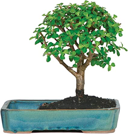 Amazon Com Brussel S Live Jade Indoor Bonsai Tree In Water Pot 3 Years Old 8 To 10 Tall Garden Outdoor