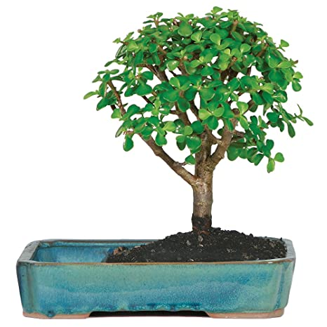 Awe Inspiring Amazon Com Brussels Live Jade Indoor Bonsai Tree In Water Pot 3 Wiring 101 Photwellnesstrialsorg