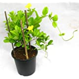 Cactus Culture Allamanda Creeper