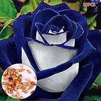 Fastdirect 30/50 Graines de Rosier Semences Rosiers de Poète Polyanthas Parfumé Bricolage Jardinage Bonsaï Plantes Vivaces, Multi-couleur Disponibles