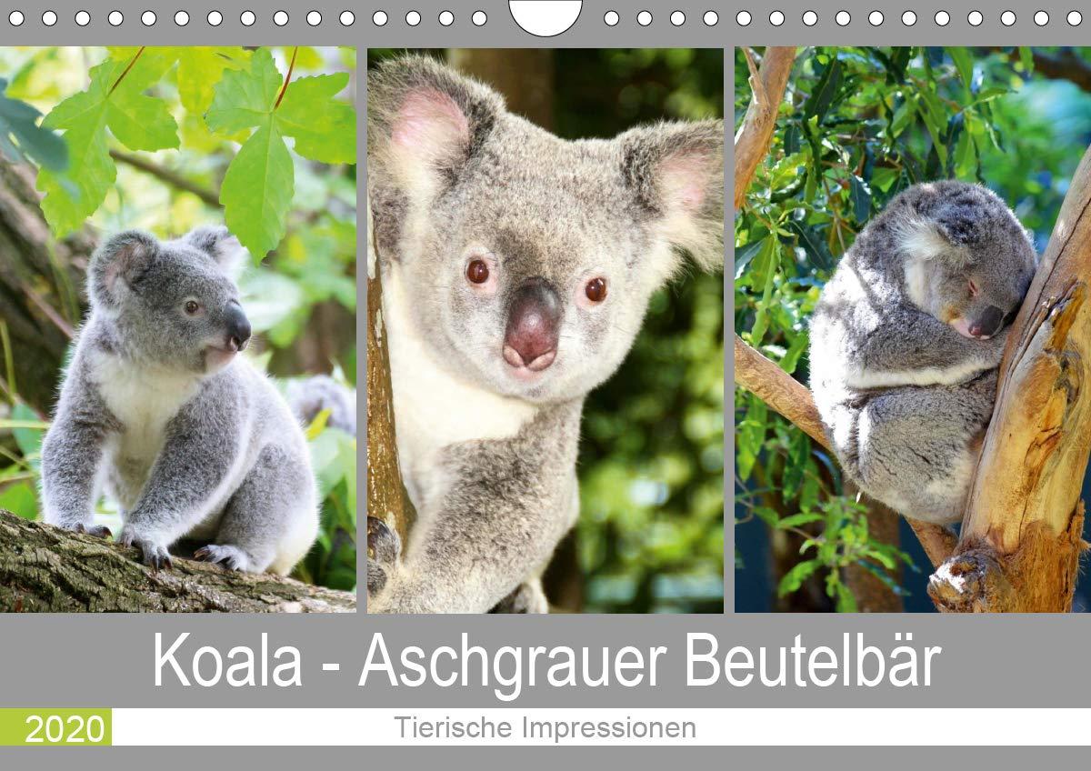 Koala - Aschgrauer Beutelbär 2020. Tierische Impressionen (Wandkalender 2020 DIN A4 quer)