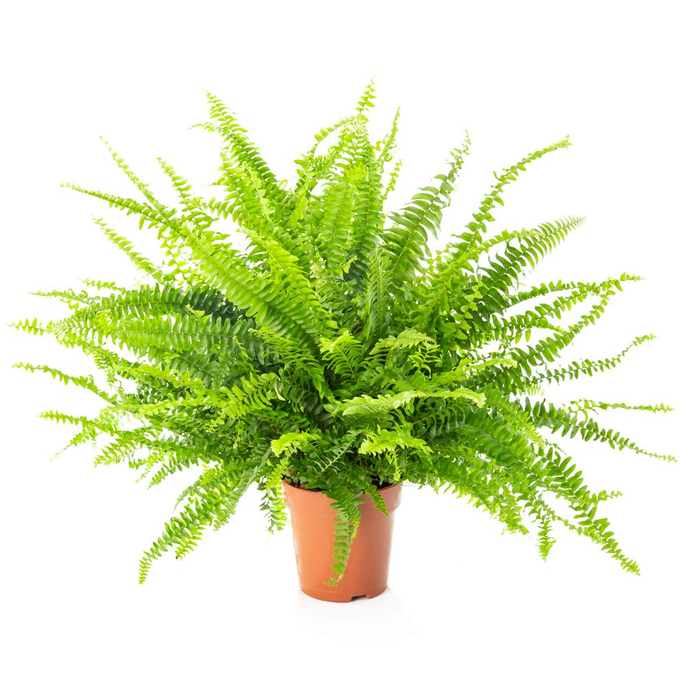AIRY Sword Fern - Nephrolepis exaltata - Natural air Purifying Plant for Healthier Indoor Climate - Suitable for The Innovative AIRY Plant Pot (12cm) AIRY GreenTech GmbH