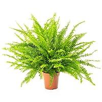 Airy Épée Fougère–Nephrolepis exaltata Naturel–Air Purifiant pour plantes d'intérieur Plus Sain climat–Convient pour l'Innovation Airy Pot de fleurs