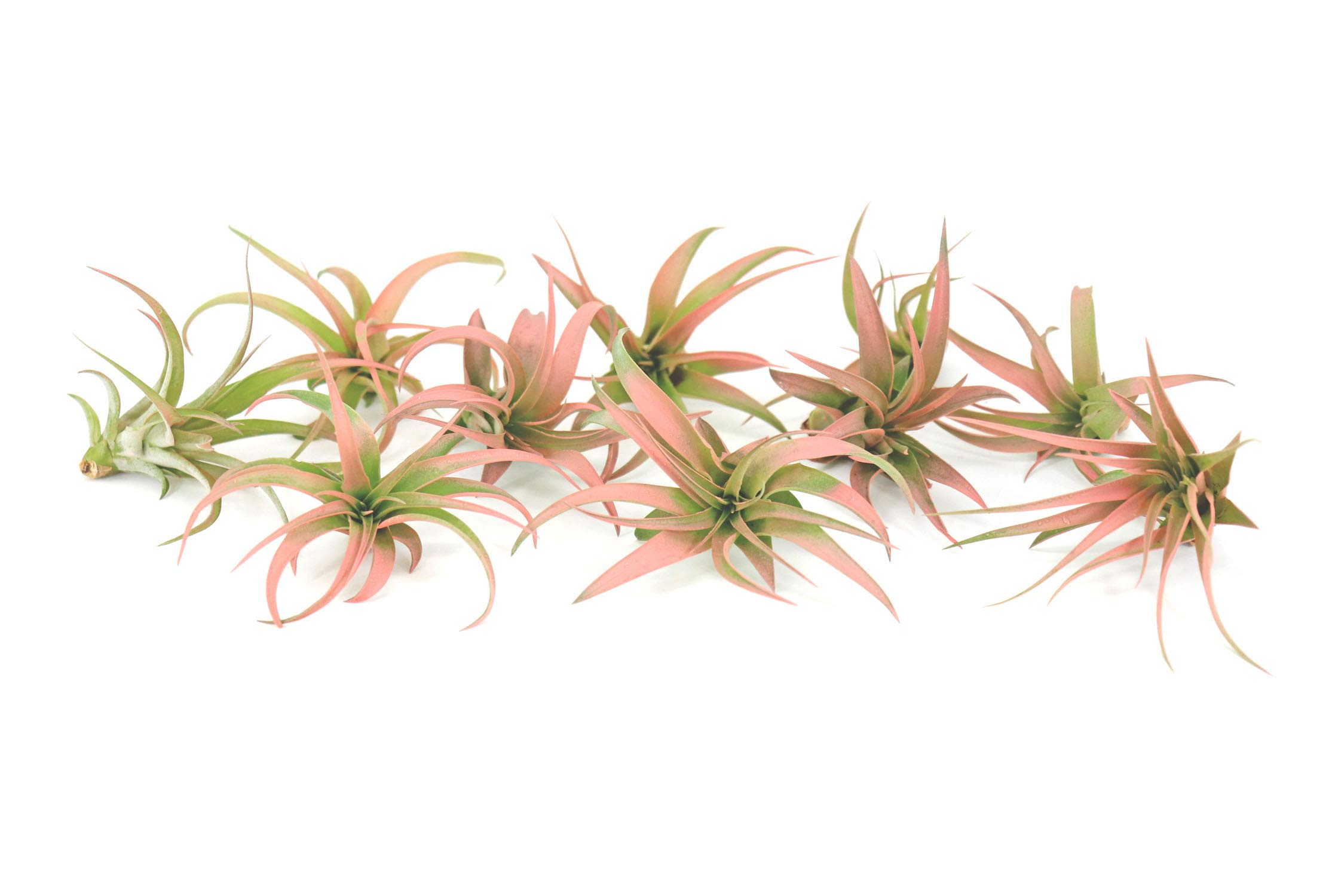 10 Live Air Plants | Colorful Peach Tillandsia Air Plant Pack | Real House Plants for Terrariums | Easy Indoor Airplant Decorations by Plants for Pets
