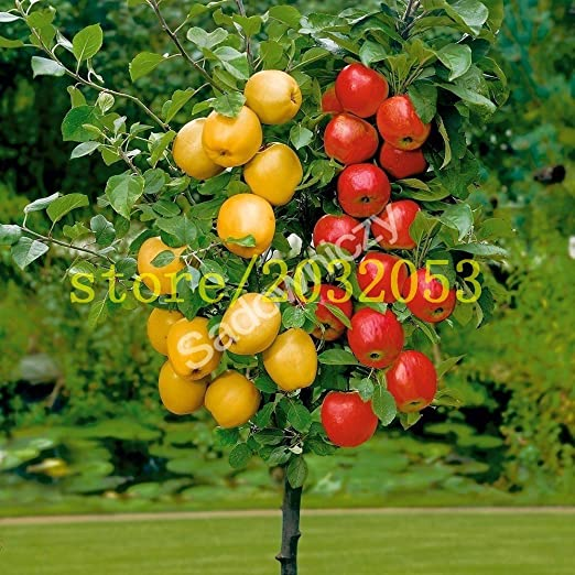 100 semillas de manzano enano árboles bonsai semillas de manzana MINI frutales para plantar jardín de su casa envían semillas de fresa grande como regalo: Amazon.es: Jardín