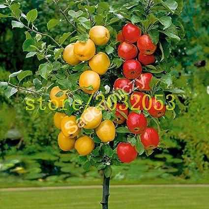 100 semillas de manzano enano árboles bonsai semillas de manzana MINI frutales para plantar jardín de