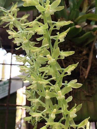 Amazon.com: gomesa Alpina – orquídea – planta en miniatura ...