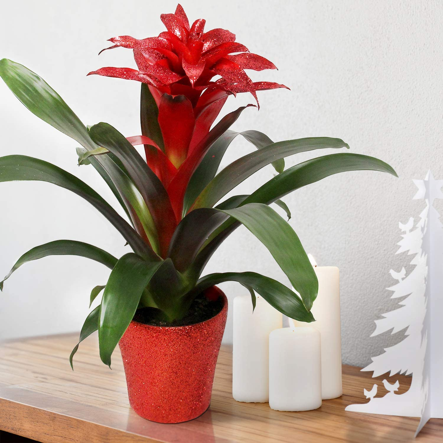 Breasy Indoor Plant Plant Height 40 cm Fresh from The Grower Bromeliad Vriesea Intenso Orange in Pot Pot Diameter 12 cm Quality from Holland