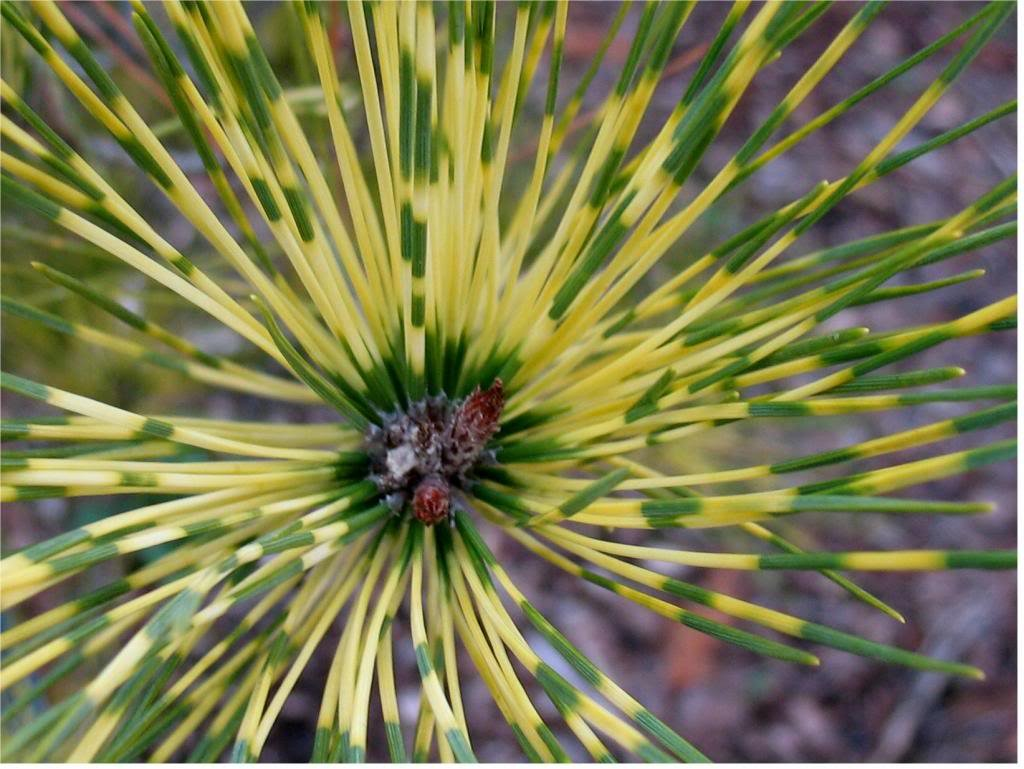 Dragon Eye Japanese Red Pine - Burkes Red Variegated Holds Yellow Bands Much Better Than Other Variegated Pines -  3 -Year Tree