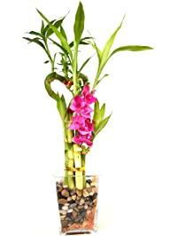 Amazon.com: Bamboo - Live Indoor Plants: Grocery & Gourmet Food
