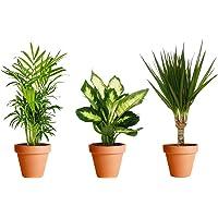 Pack Plantas Purificadoras del Aire con Maceta de Cerámica: Dieffenbachia + Chamaedorea + Dracaena