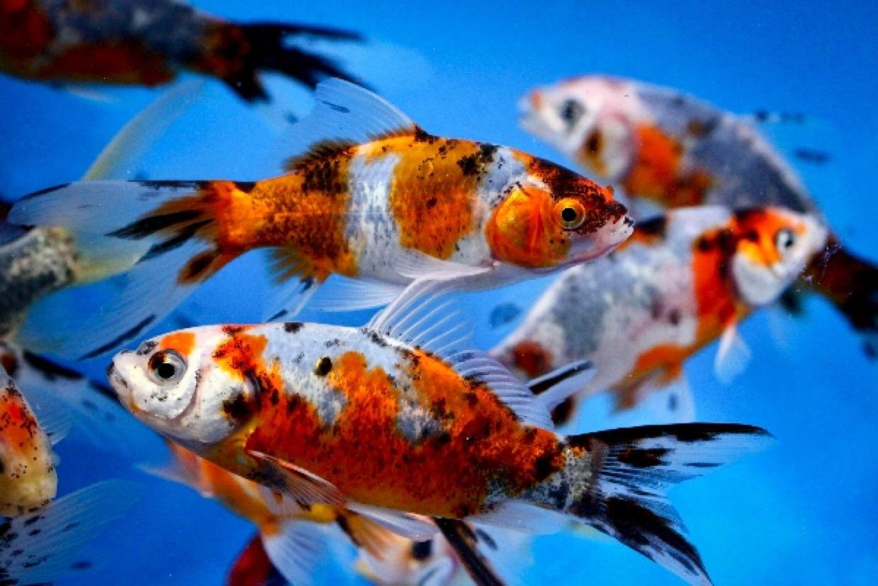 Chalily Live Goldfish - 20 Live 3-4 inch Shubunkin Goldfish for Pond or Aquarium