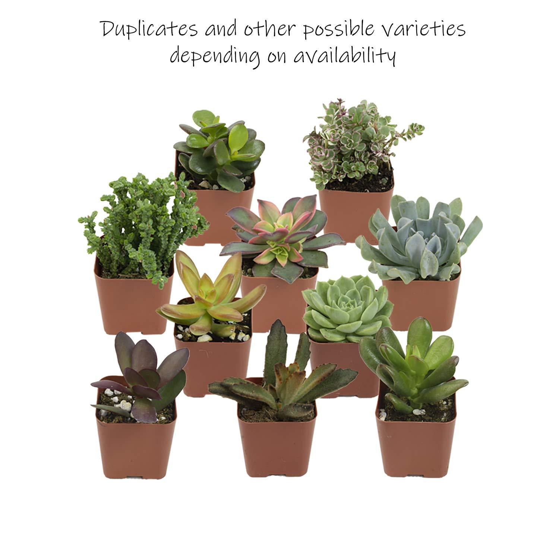 Altman Plants Mini Live Assorted Succulents Weddings, Party favors, DIY terrariums, Gifts 2'' 20 Pack by Altman Plants (Image #5)