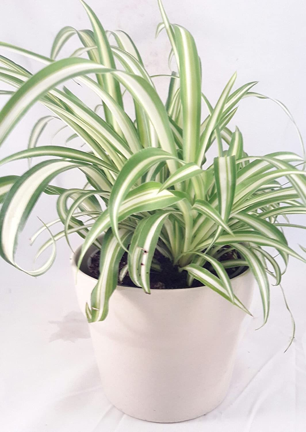 "Ocean Spider Plant - Easy to Grow - Cleans the Air - 4"" ceramic white pot Pot"
