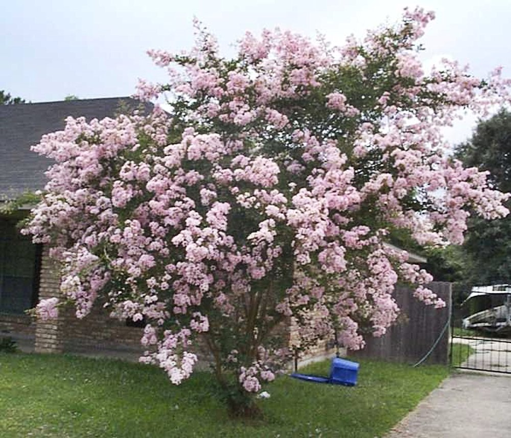 LARGE NEAR EAST CRAPE MYRTLE, 2-4ft Tall When Shipped, Matures 8-10ft, 1 Tree, Delicate Light Pink Flowers, (Shipped Well Rooted in Pots with Soil)