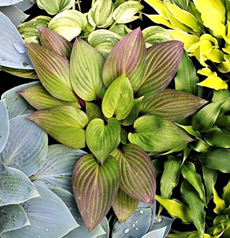Amazoncom First Blush Hosta Deep Green With Red Edges Gallon