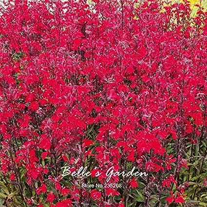 Amazoncom 100pcs Lobelia X Speciosa Fan Scarlet Seeds Balcony