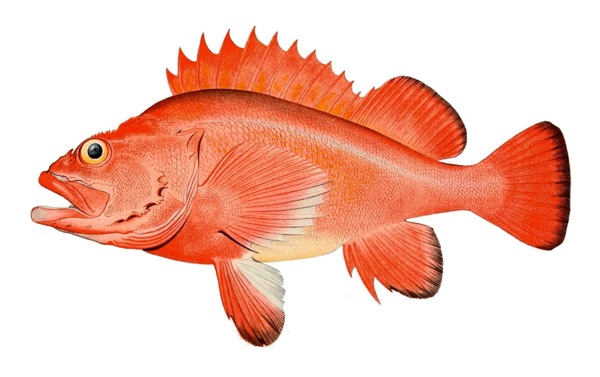Rockfish - Wild, Alaskan Rockfish Fillets (Skin Off), Harvested in Prince William Sound Alaska, Delivered to Your Door-Step. 10 lbs.