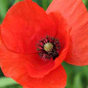 Red American Legion Poppy Seeds, 3000+ Premium Heirloom Seeds! - A Symbol of Remembrance, ON Sale! - 85-90% Germination Rates - (Isla's Garden Seeds) - Highest Quality Seed