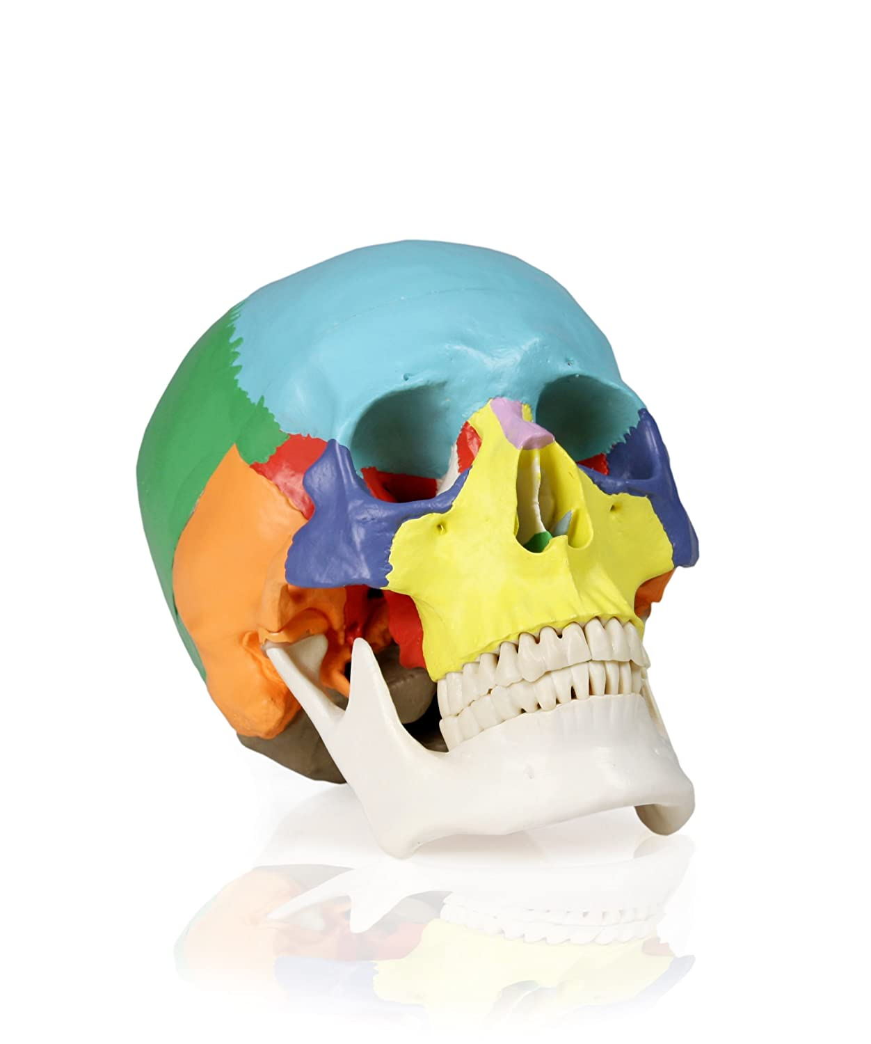 Walter Products B10218 22 Colored Human Skull Model, Life Size
