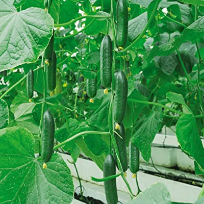Yaoyodd19 30Pcs Fruit Vegetable Seeds Home Park Plant Delicious Green Cucumber Seeds : Garden & Outdoor