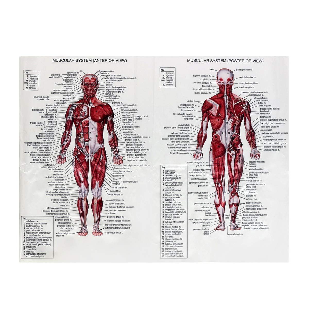 Amazon Welliestr 1 Piece Silk Cloth Muscle System Posters