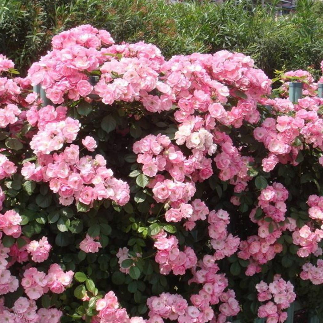 Sisaki 100Pcs Parfum Escalade Plantes Color/é Rock Cress Graines De Fleurs Graines