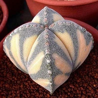 codemack Garden- Rare Spiral Succulent Cactus Flower Seeds Bonsai Potted Plants DIY Home Garden Decor : Garden & Outdoor