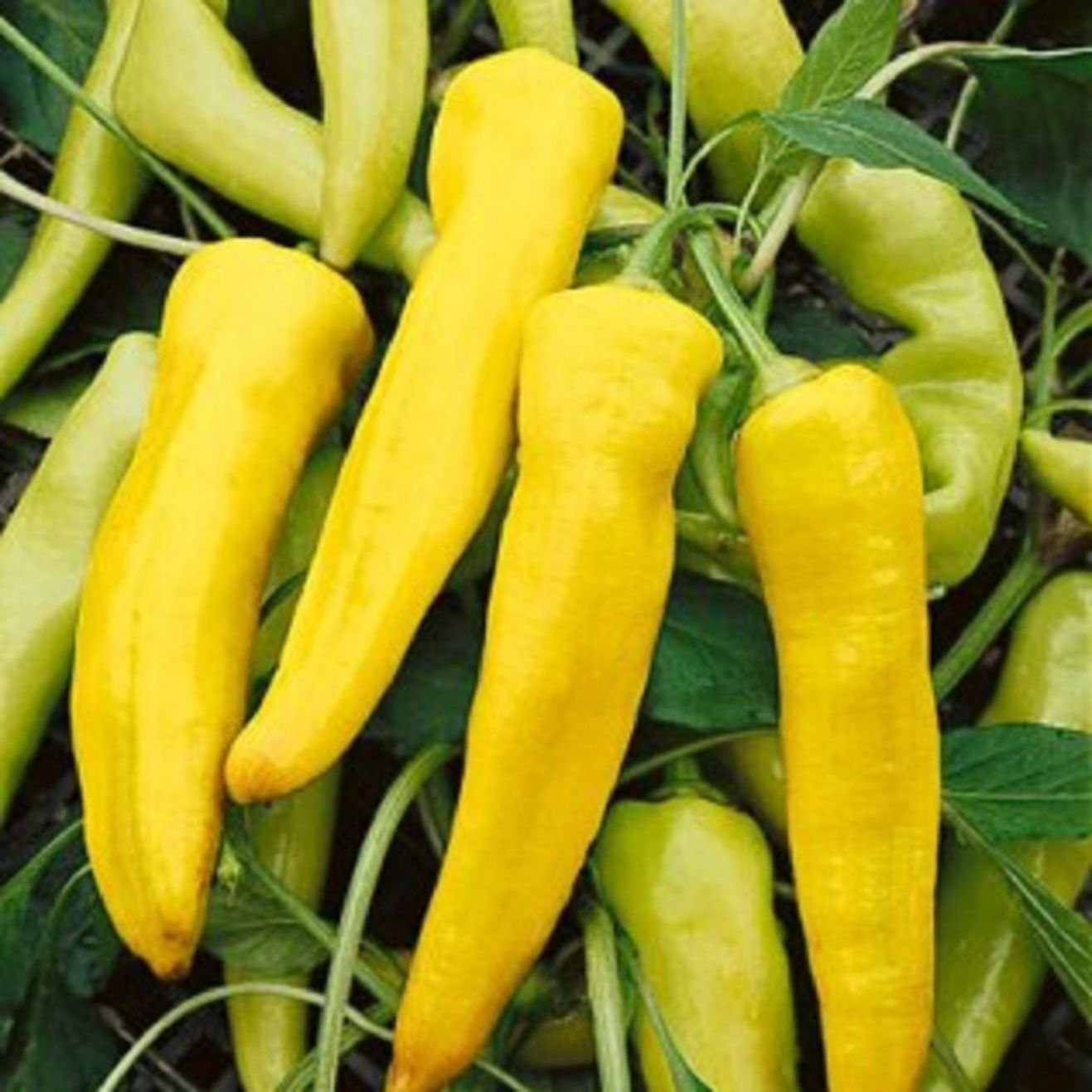 Heirloom Sweet Banana Pepper 200 Seeds Large Peppers High Yields