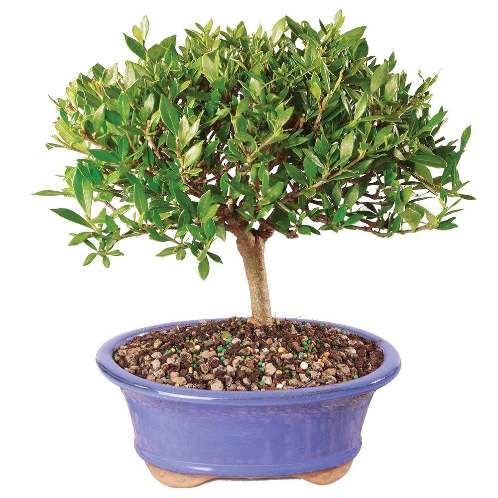Brussel's Bonsai Live Gardenia Outdoor Bonsai Tree-4 Years Old 6'' to 8'' Tall with Decorative Container - Not Sold in Arizona, Medium, by Brussel's Bonsai (Image #2)