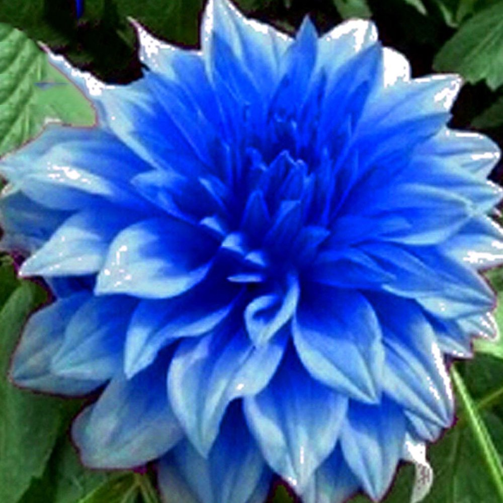 Amazon Best Garden Seeds Rare Blue Dahlia Flower Seeds 50