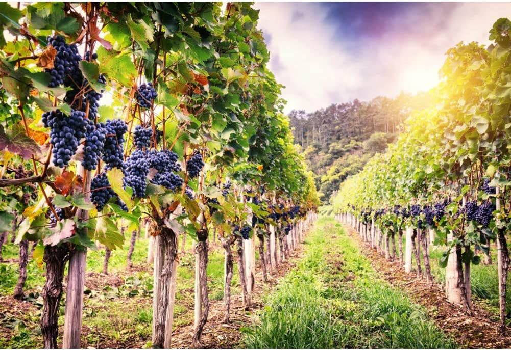 7x10 FT Wine Vinyl Photography Background Backdrops,Landscape with Views of Vineyards Grapes Leaves Drink Barrel Agriculture Field Farm Background for Selfie Birthday Party Pictures Photo Booth Shoot