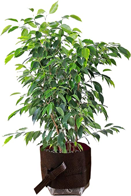 House Ficus Dark Green Kinky Stem Office Live Indoor Tree 12cm Pot 1 Plant