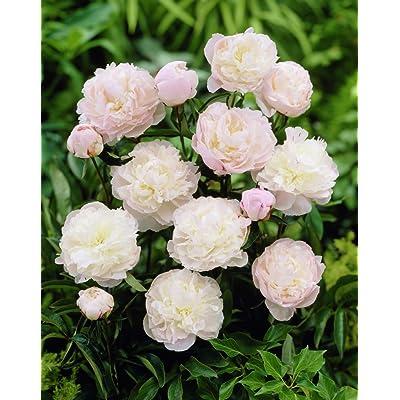 Shirley Temple Garden Peony: Paeonia lactiflora - 1 Bulbs : Garden & Outdoor