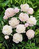 Shirley Temple Garden Peony: Paeonia lactiflora - 1 Bulbs
