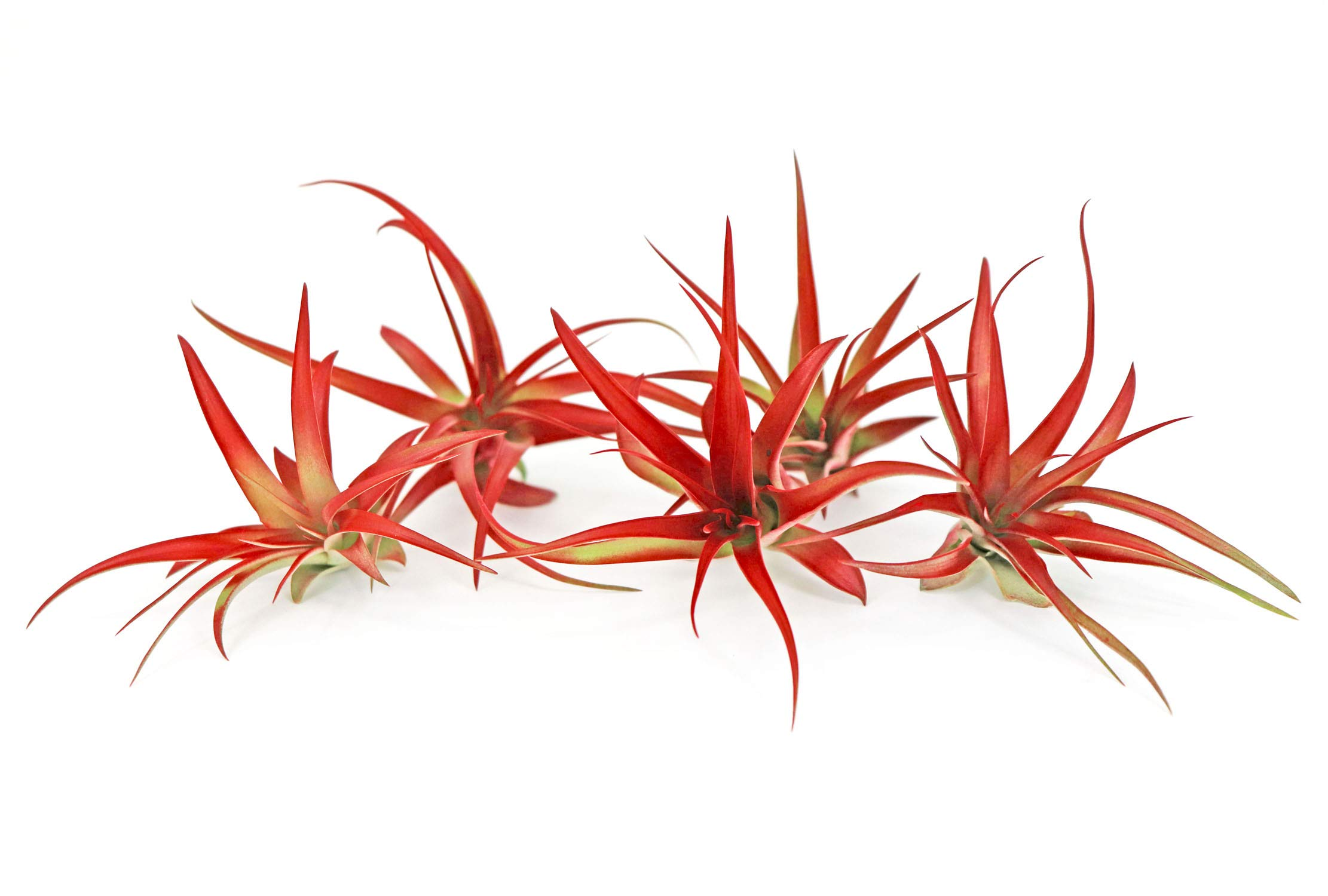 5 Live Air Plants | Bright Red Tillandsia Air Plant Pack | Colorful Indoor Plants | Real Houseplants | Easy Terrarium Decor Kit by Plants for Pets by Plants for Pets (Image #3)